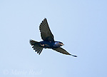 Purple Martin (Progne subis), male in flight, Montezuma National Wildlife Refuge, New York, USA