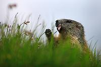 Alpine Marmot (Marmota marmota) feeding on flowers on a highland meadow. Hohe Tauern National Park, Carinthia, Austria