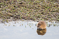 A muskrat forages along the banks of the Yellowstone River.