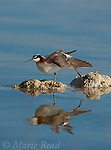 Wilson's Phalarope (Phalaropus tricolor), Stretching its wing and foot, perched on small tufa outcrop in the water, Mono Lake, California, USA