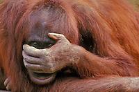 Orangutan (Pongo pygmaeus).(Lowery Park Zoo, Tampa, Florida)