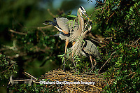 00684-02809 Great Blue Heron (Ardea herodias) male bringing branch to female at nest FL