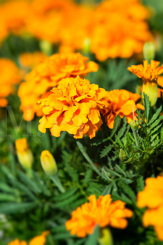 Marigolds in bloom.