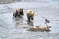 A mother grizzly bear and her two cubs chase magpies off their lunch, a caribou killed the day before by wolves in Denali National Park, Alaska.