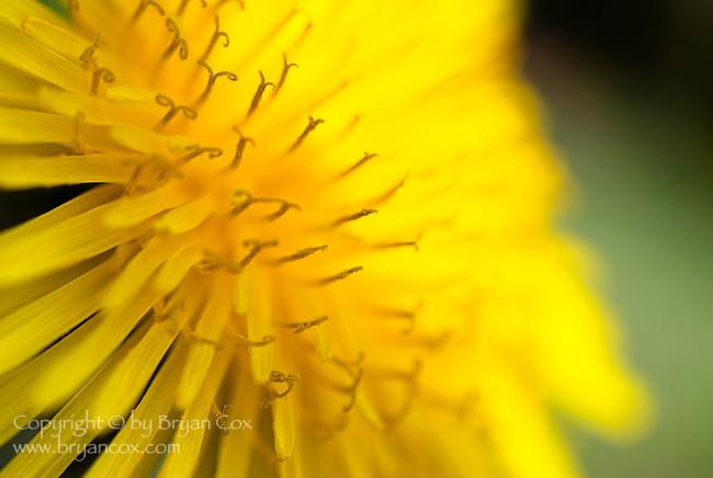 Dandelion blossom, Coast mountain range, Oregon