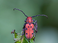 Eastern Milkweed Longhorn Beetle; Tetraopes tetraophthalmus; PA, Philadelphia, Schuylkill Center