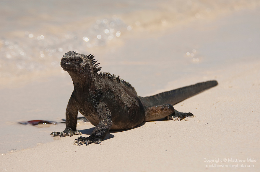 Las Bachas Beach, Santa Cruz Island, Galapagos, Ecuador; a Marine Iguana (Amblyrhynchus cristatus) walking on the sandy beach at the water's edge , Copyright © Matthew Meier, matthewmeierphoto.com All Rights Reserved