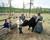 MONGOLIA, Batkhuu's home near Khuvsgul Lake, young man saddling a yak, Khuvsgul National Park