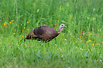 Hen turkey walking in a northern Wisconsin meadow.