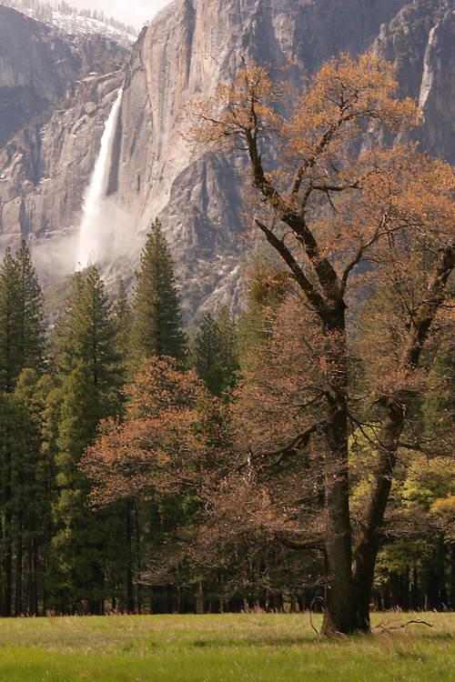 An old black oak tree clothed in autumn color and distant Upper Yosemite Falls serve as enduring sentinels of Yosemite valley.