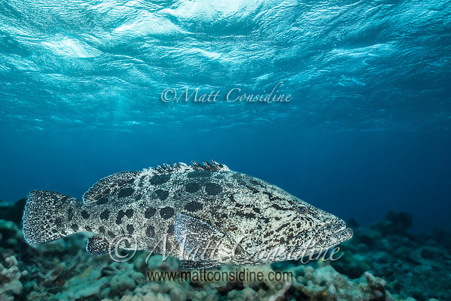 Potato Cod under luminous blue sky. (Photo by Underwater Photographer Matt Considine)