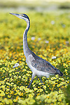 Blackheaded heron, Ardea melanocephala, among spring flowers, West Coast national park, Western Cape, South Africa