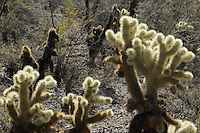 Jumping cholla, Cylindropuntia bigelovii. Saguaro National Park, Arizona