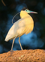 The Pantanal is home to countless species of herons and egrets.