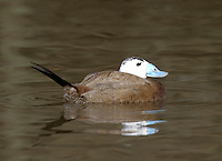 White-headed Duck, Male - Oxyura leucocephala