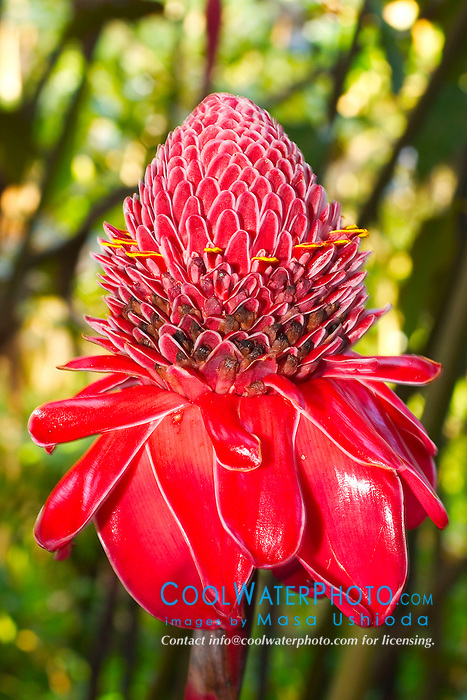 Tahitian ginger flowerhead, Hilo, Big Island, Hawaii