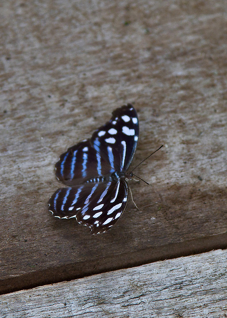 A Blue Wave, know by a variety of names (see Keywords), is resting on a weathered wooden walkway with its wings spread showing of its sapphire blue stripes and white banding.
