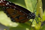 Queen detail, Danaus gilippus, Southern California