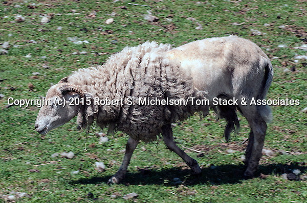 Wiltshire Horned Sheep facing left trotting over barnyard.  This species is considered to be one of the oldest species that originated in Europe.  It is still widely sought after because unlike most sheep species, the Wiltshire does not need to be sheared and will shed its wool coat every spring as is seen in this photo.
