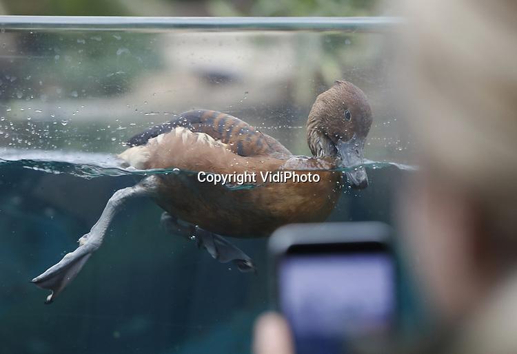 Foto: VidiPhoto<br /> <br /> ARNHEM – Niet de unieke natuur of de zeldzame zeekoeien, maar een eenvoudige doch pronkzuchtige rosse fluiteend is de publiekslieveling in de overdekte mangrove van Burgers' Zoo in Arnhem. Zodra zich voldoende kijkers voor de enorme glaswand van het megabassin hebben verzameld, komt Donald aanvliegen en begint opvallend en parmantig voor de bühne heen en weer te zwemmen. Daarna volgt een uitgebreide poetsbeurt van het verenkleed. Zodra het heerschap voldoende heeft genoten van alle aandacht, gaat hij aan de slag met een minder prettige hobby, het aantasten van het veld met kweek-zeegras. Tot verdriet van de parkleiding is de fluiteend dol op deze jonge aanplant. De Arnhemse mangrove is een van de weinig plekken ter wereld waar overdekt zeegras wordt gekweekt. Omdat Burgers' Zoo het ecosysteem echter niet wil aantasten en de natuur zijn gang laat gaan, krijgt het dier geen beperkingen opgelegd.