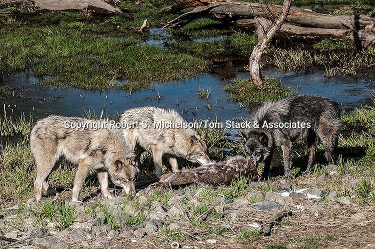 grey wolf 3 shot feeding on white tail deer