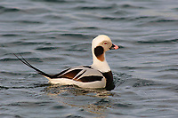Adult male Long-tailed Duck (Clangula hyemalis) in winter (basic) plumage.Ocean County, New Jersey. February.