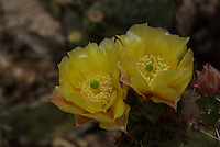Desert Prickly Pear Cactus(Opuntia phaeacantha) flowers seen in southern Arizona.