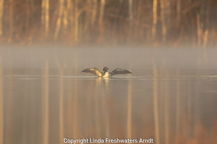 Common loon on a misty morning in northern Wisconsin.
