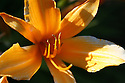 Orange daylily detail close up in light