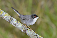 Sardinian Warbler - Sylvia melanocephala - male.