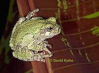 "0917-07pp  Gray Tree Frog - Hyla versicolor ""Virginia"" © David Kuhn/Dwight Kuhn Photography"