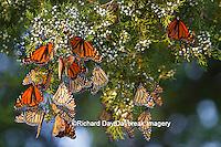 03536-05116 Monarch butterflies (Danaus plexippus) roosting in Eastern Red Cedar tree (Juniperus virginiana),  Prairie Ridge State Natural Area, Marion Co., IL