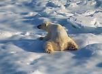 The Polar Bear lovingly called Cool hand Luke lays int he snow.