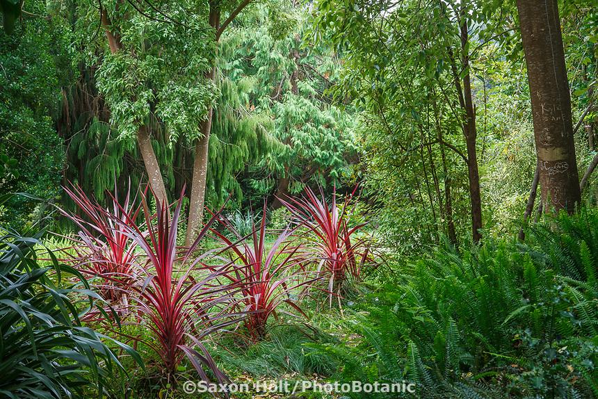 Cordyline banksii 'Electric Pink', grasslike perennial foliage plant in New Zealand section of San Francisco Botanical Garden