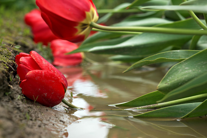 Red tulip flowers laying in muddy water, Skagit Valley, Skagit County, Washington