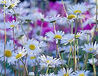 Wild daisies. (Chrysanthemum leucanthemum) Near Corvallis, Oregon