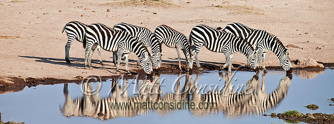 Zebras lined up at the edge of a waterhole drinking in unison while being reflected in the water below, Kenya, Africa (photo by Wildlife Photographer Matt Considine)