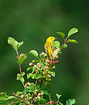 Yellow Warbler sitting on a serviceberry bush suplimenting his diet with berries in summertime