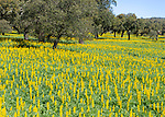 Yellow flowers of lupin plants,  Lupine Albus  in a field with cork oak trees,  Quercus suber, near Viana do Alentejo, Portugal, Southern Europe
