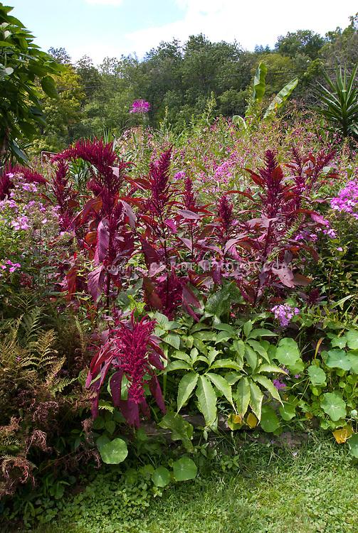 Amaranthus hypochondriacus<br /> &lsquo;Giant Purple&rsquo;