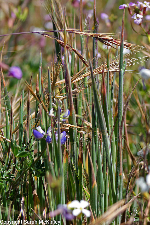 A variety of grasses grows in a surrounding of purple wildflowers including lupine and wild radish.