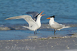 Royal Terns (Sterna maxima), pair with one calling to the other during courtship behavior, Fort DeSoto Park, Florida, USA