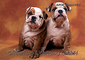 Xavier, ANIMALS, REALISTISCHE TIERE, ANIMALES REALISTICOS, dogs, photos+++++,SPCHDOGS1024,#a#, EVERYDAY