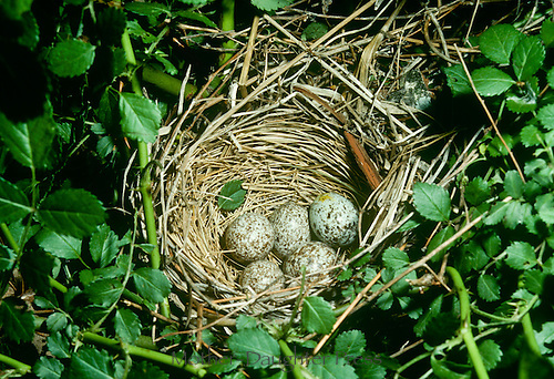 Round nest made of straw with 5 cardinal eggs, cardinal cardinalis, in tree surrounded by vines