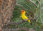 Western Tanager (Piranga ludovicianus), male perched in Jeffrey Pine, Mono Lake Basin, California, USA