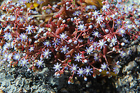 Mauerpfeffer (Sedum caeruleum) in der Gallura, Provinz Olbia-Tempio, Nord Sardinien, Italien