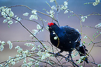 Black grouse 2015