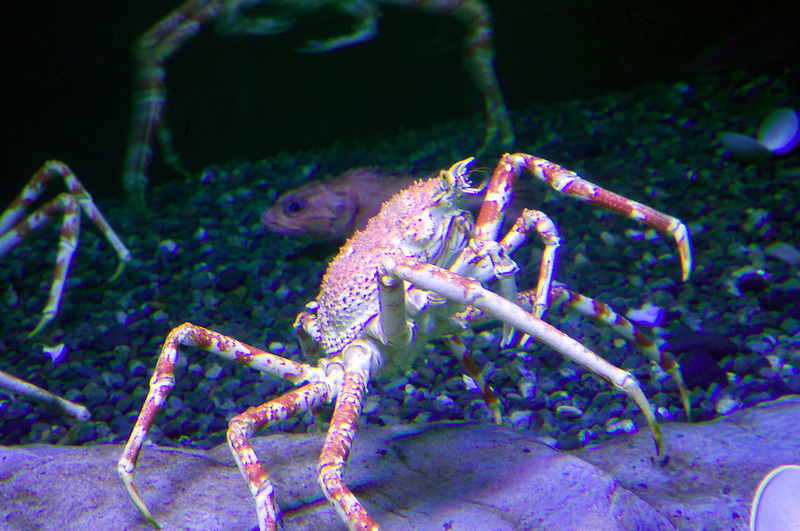 Japanese Spider crab. Oregon coast Aquarium. Newport Oregon