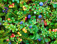 Bog Blueberry (Vaccinium uliginosum) and low brush Cranberry (Baccinium vitisidaea) Alaska