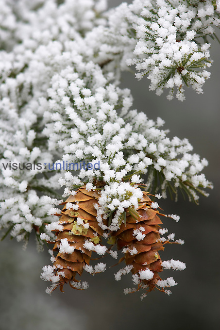 Douglas-Fir cones and needles ,Pseudotsuga menziesii, with hoarfrost on a cold morning, Western USA.